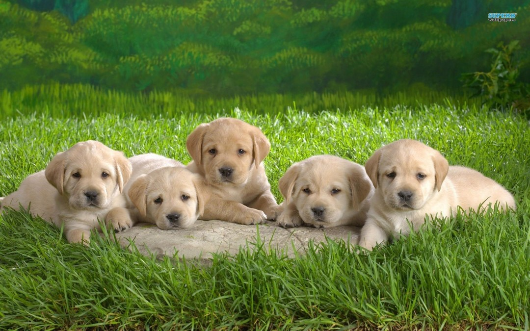 labrador-puppies-wallpaper---animal-wallpapers-l3a157l9